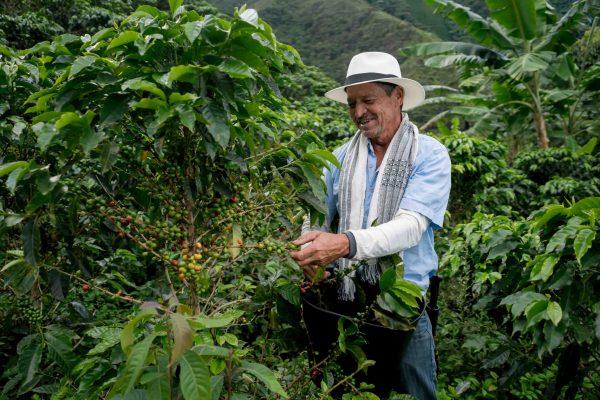 Homme qui récolte le café en Colombie