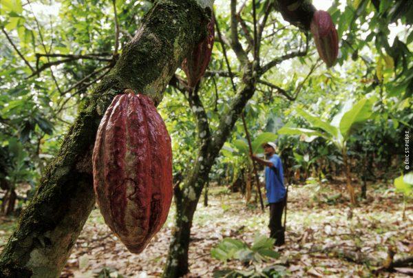 Cabosse de cacao dans l'arbre