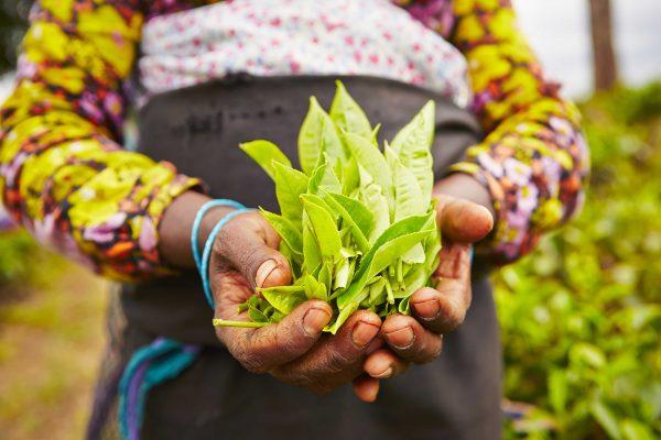 Feuilles de thé dans les mains d'une productrice au Sri Lanka