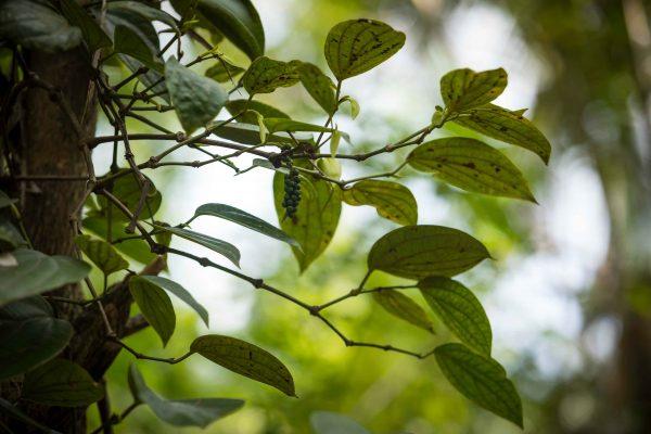 Poivre noir sur le plant